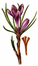 Sáfrány virága és bibéje